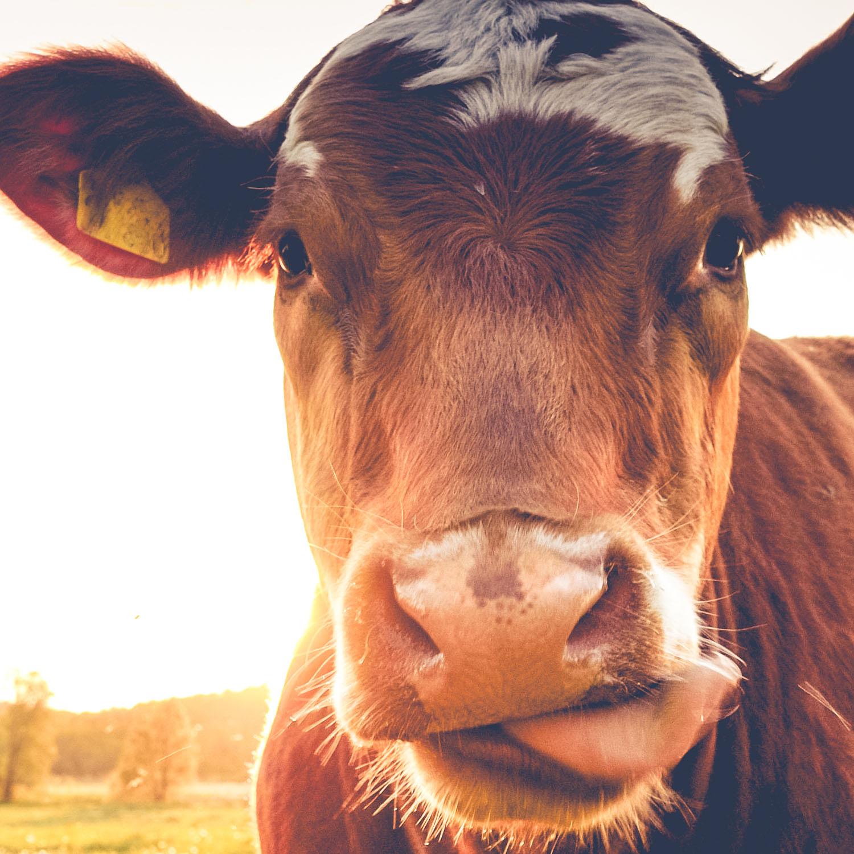 bovine tracking solution